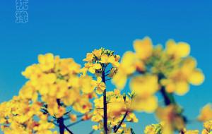 【泰州图片】我本将心向菜花,怎奈花开未逢时。
