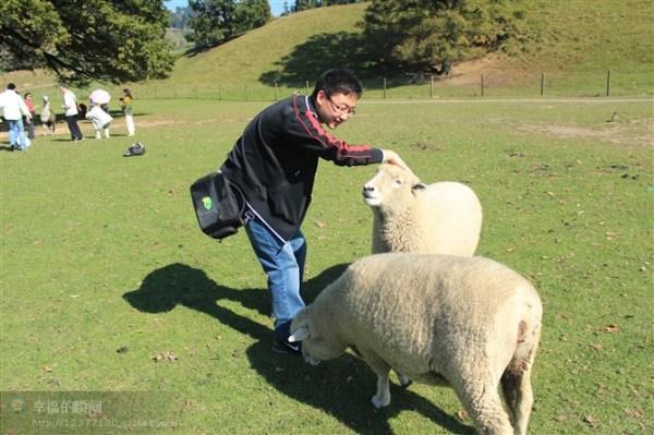 还有可爱的多利羊