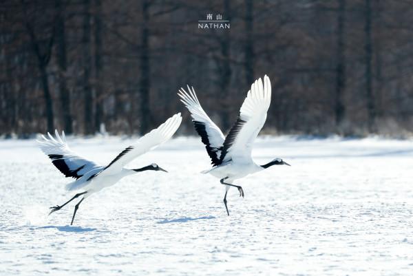 他说音羽桥是丹顶鹤睡觉的地方,日出后,他们就飞走离开音羽桥,之后你
