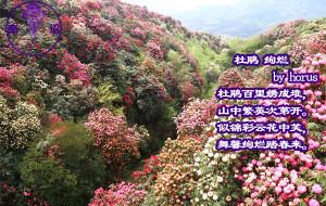 【贵州图片】百里杜鹃-彩舞绚烂团嫣嫣