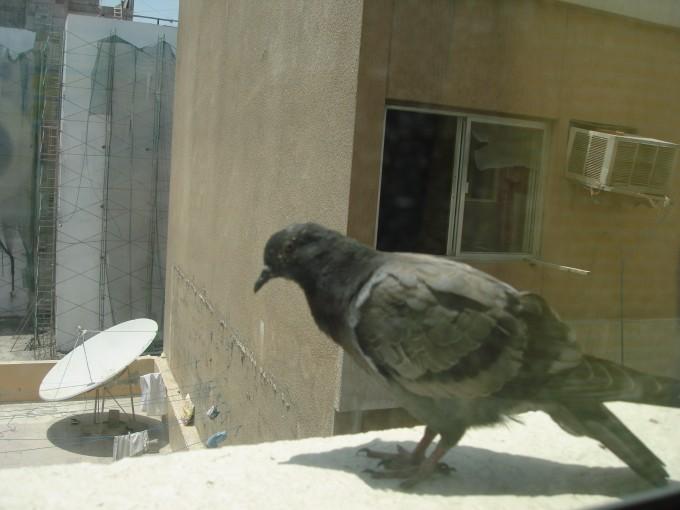 动物 鸽 鸽子 鸟 鸟类 680_510图片