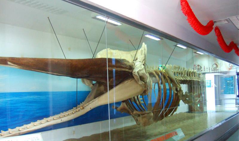 """厦门海底世界的镇馆之宝是""""鲸豚标本馆""""内展示的抹香鲸表皮和骨骼两"""