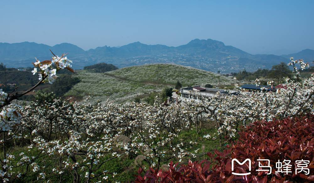 位于 叙永 县正东镇西湖村的梨花开遍山坡,形成一道独特的风景,吸引