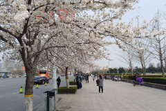 潍坊市政府广场的樱花开了