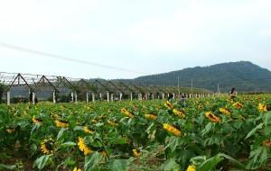 【宁海图片】20111031 宁海赏向日葵花海+石头村烧烤