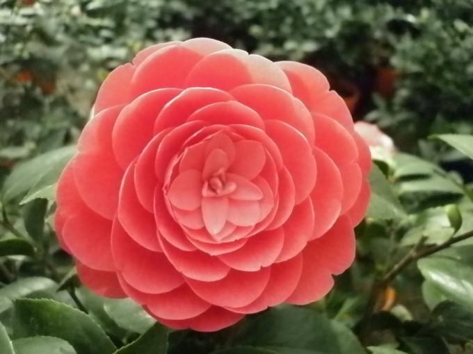 并蒂花   再加两朵红的   红山茶花花语:谦让,高洁的理性