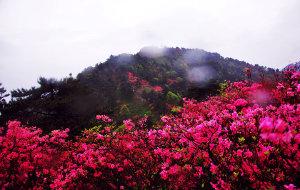 【黄冈图片】人间四月芳菲尽,麻城杜鹃始盛开。