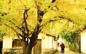 【长兴图片】长兴十里银杏最壮观的晚秋