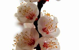 【临夏图片】#花样游记大赛#在那杏花开满的地方——临夏唐汪川杏花沟