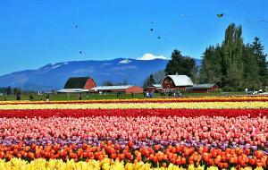 【华盛顿州图片】美国史卡基河谷赏郁金香攻略