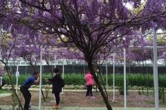 台灣的紫藤花季