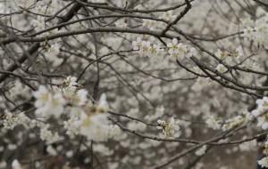 【十堰图片】樱桃好吃花美好