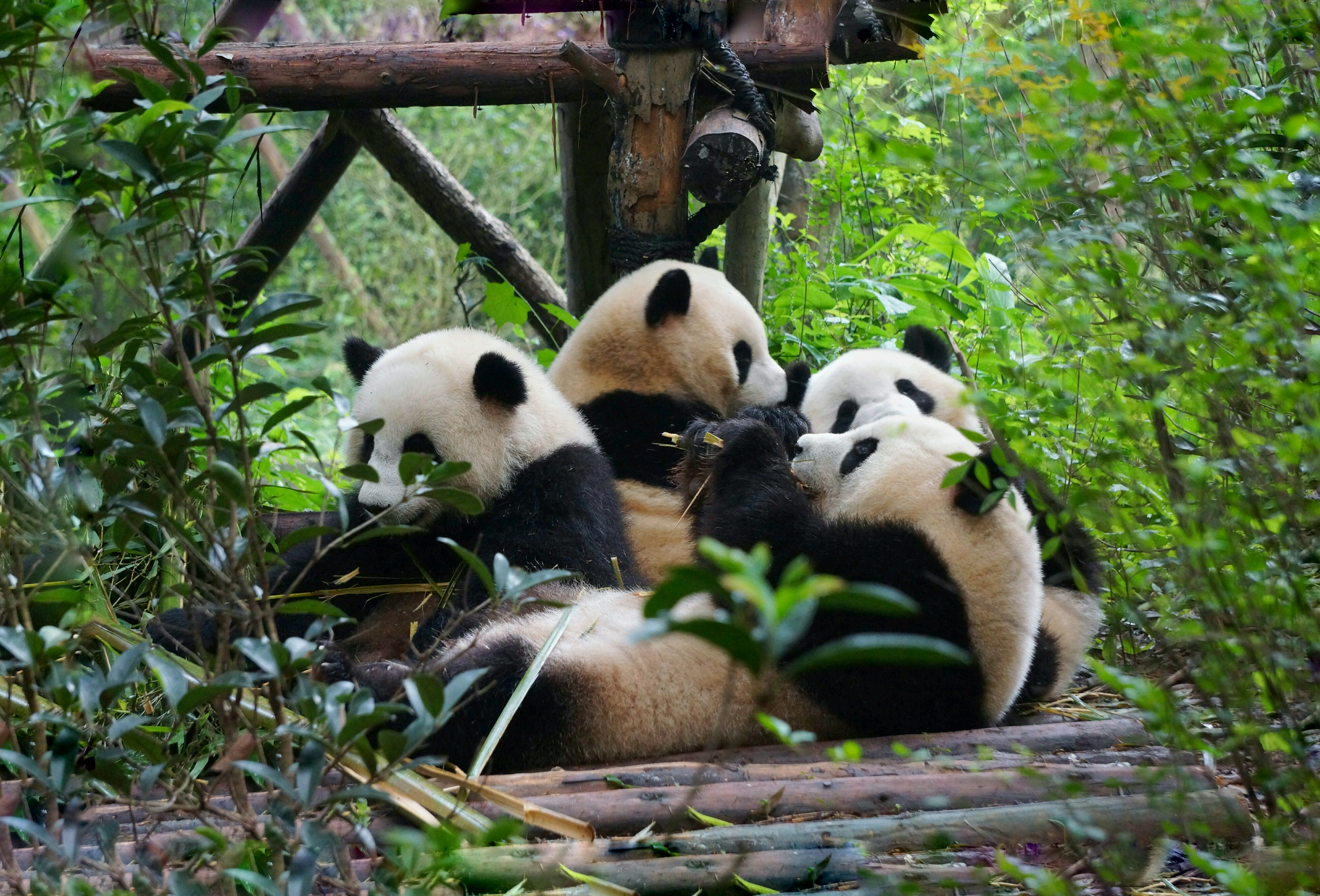 China ChengDu Panda Center